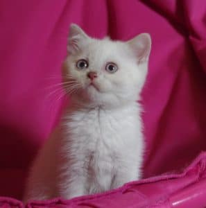 chaton British Shorthair fawn point