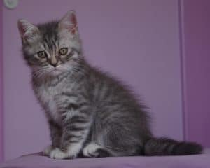 Chaton British blue silver spotted tabby