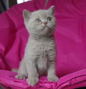 chaton british shorthair fawn