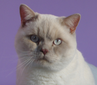 mâle british shorthair fawn point