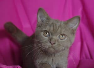 chaton british cinnamon