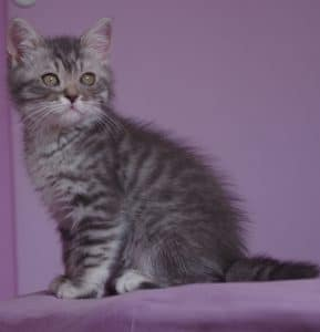 chat blue silver tabby