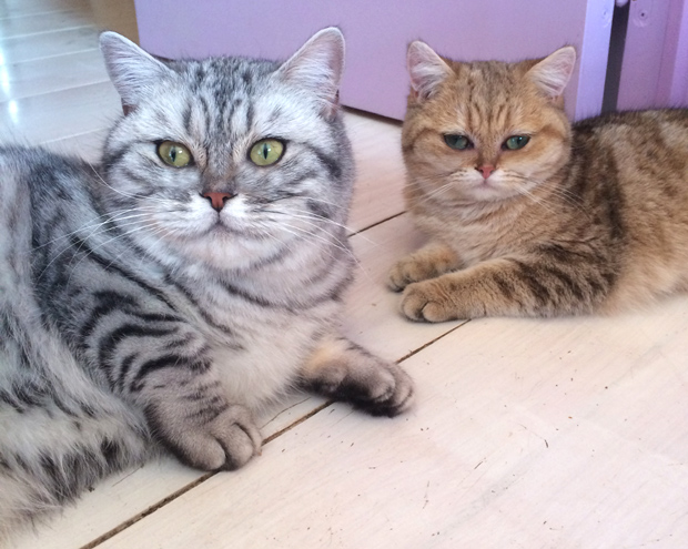 British shorthair silver tabby et golden Tabby