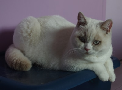 Biyanka british shorthair fawn point et blanc