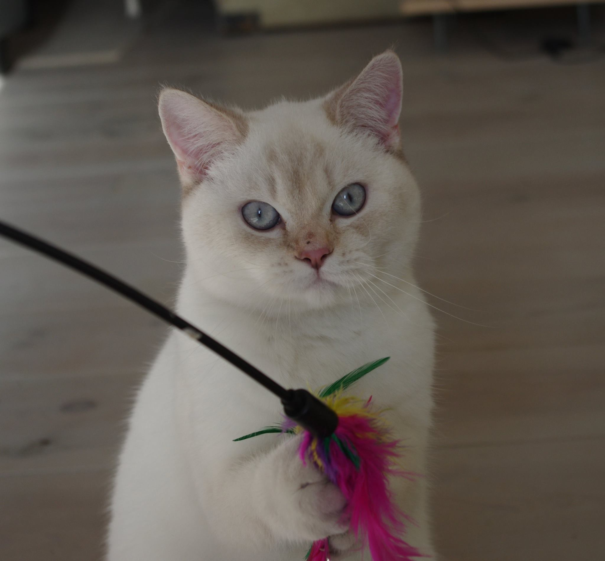 chatte lilac silver point