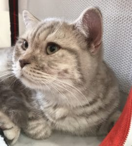 chat lilac silver spotted tabby