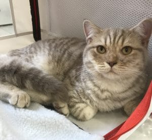 chaton lilac silver spotted tabby