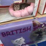 British shorthair en expo
