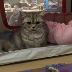 Ophelie British shorthair en expo