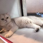 British shorthair Silvershaded