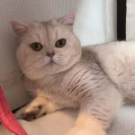 British shorthair Silver