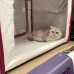 British shorthair Silver en expo