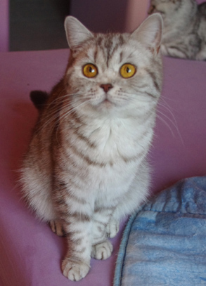 Chatte british shorthair chocolate silver spotted tabby