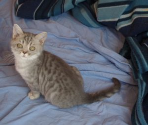 chatonne blue silver spotted tabby