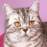 Ophélie chatte british shorthair chocolate silver spotted tabby