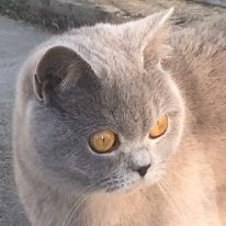 Katie chatte british shorthair lilac