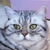 british shorthair black silver spotted tabby